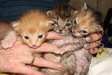 Kitten Trio