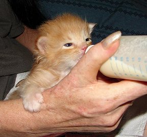 Feeding your Kitten